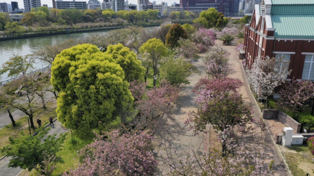 Famous Osaka cherry-blossom lane shut, but drone images available
